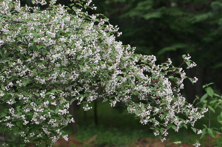 yatugatake 春の野草
